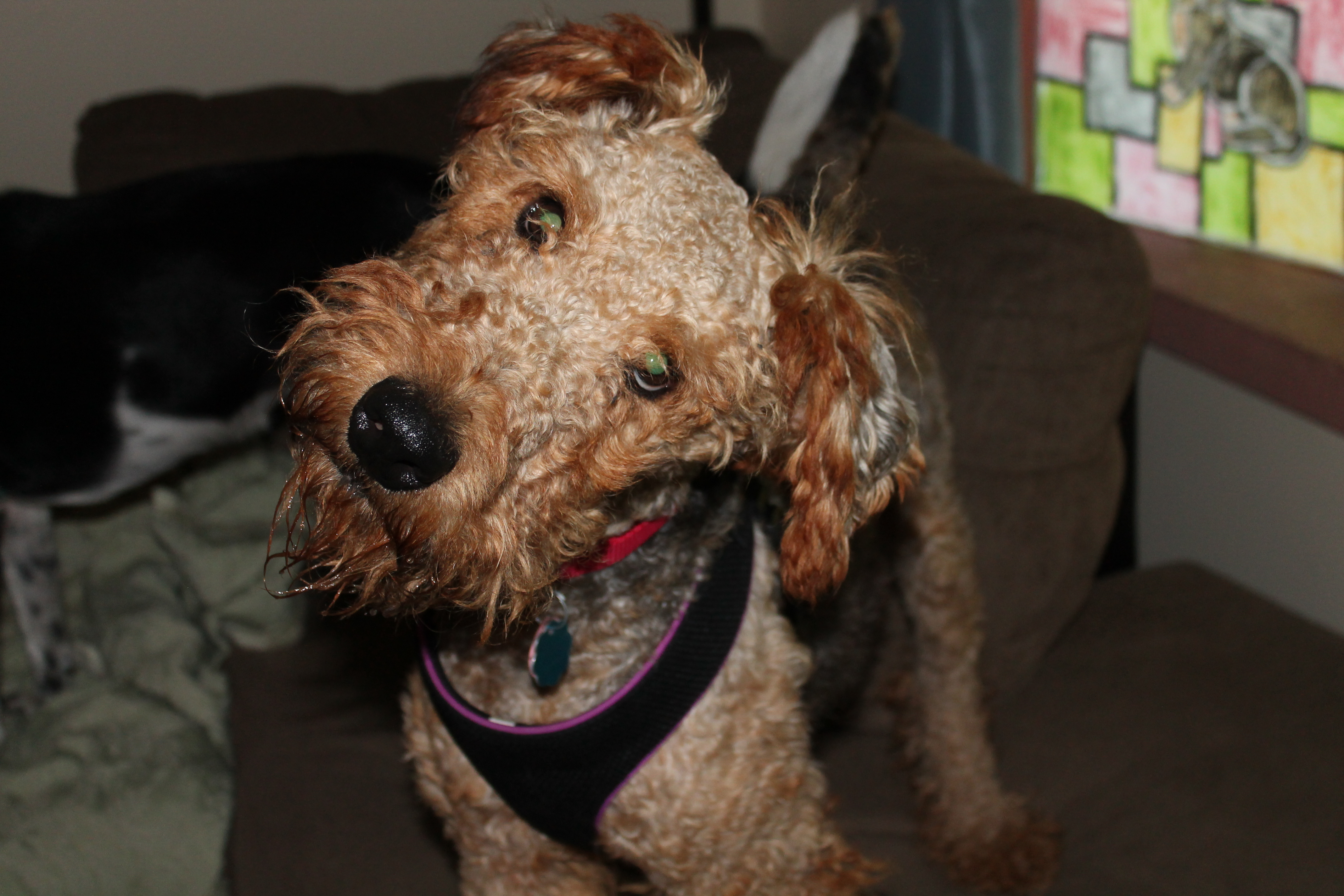 welsh terrier poodle mix the gallery for gt wire fox terrier poodle mix 3237